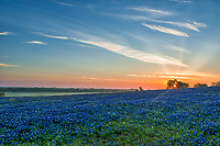 Cattle ranch as the sun came up over this field of bluebonnets in north Texas on a spring day. We loved the way the sunrise look coming up over this bluebonnet landscape.