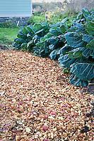 Apple compost spread on ground in vegetable garden