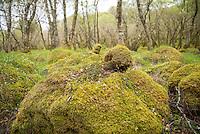 Carnach Woodland Wanderweg (Carnach Woodland Trail) nahe der Ortschaften Milltown und Applecross.<br /> Der Wanderweg fuehrt durch ein Gebiet der vor ca. 4.000 Jahren als mystischer Ort galt und von zahlreichen unterirdischen Energielinien durchzogen ist.<br /> Im Bild: Moos ueberwachsene Steine und Felsen.<br /> 23.5.2015, Highlands/Schottland<br /> Copyright: Christian-Ditsch.de<br /> [Inhaltsveraendernde Manipulation des Fotos nur nach ausdruecklicher Genehmigung des Fotografen. Vereinbarungen ueber Abtretung von Persoenlichkeitsrechten/Model Release der abgebildeten Person/Personen liegen nicht vor. NO MODEL RELEASE! Nur fuer Redaktionelle Zwecke. Don't publish without copyright Christian-Ditsch.de, Veroeffentlichung nur mit Fotografennennung, sowie gegen Honorar, MwSt. und Beleg. Konto: I N G - D i B a, IBAN DE58500105175400192269, BIC INGDDEFFXXX, Kontakt: post@christian-ditsch.de<br /> Bei der Bearbeitung der Dateiinformationen darf die Urheberkennzeichnung in den EXIF- und  IPTC-Daten nicht entfernt werden, diese sind in digitalen Medien nach &sect;95c UrhG rechtlich geschuetzt. Der Urhebervermerk wird gemaess &sect;13 UrhG verlangt.]