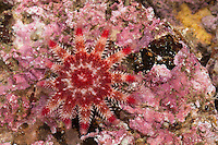 Gewöhnlicher Sonnenstern, Seesonne, Europäischer Quastenstern, Sonnen-Seestern, Seestern, Crossaster papposus, Solaster papposus, common sun star, common sunstar, spiny sun star, sea star, sea-star