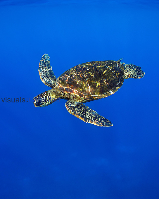 Green Sea Turtle (Chelonia mydas) swimming off the Kona Coast, Big Island, Hawaii, Pacific Ocean.