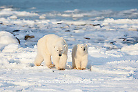 01874-12210 Polar Bear (Ursus maritimus) mother and cub  near Hudson Bay  in Churchill Wildlife Management Area, Churchill, MB Canada
