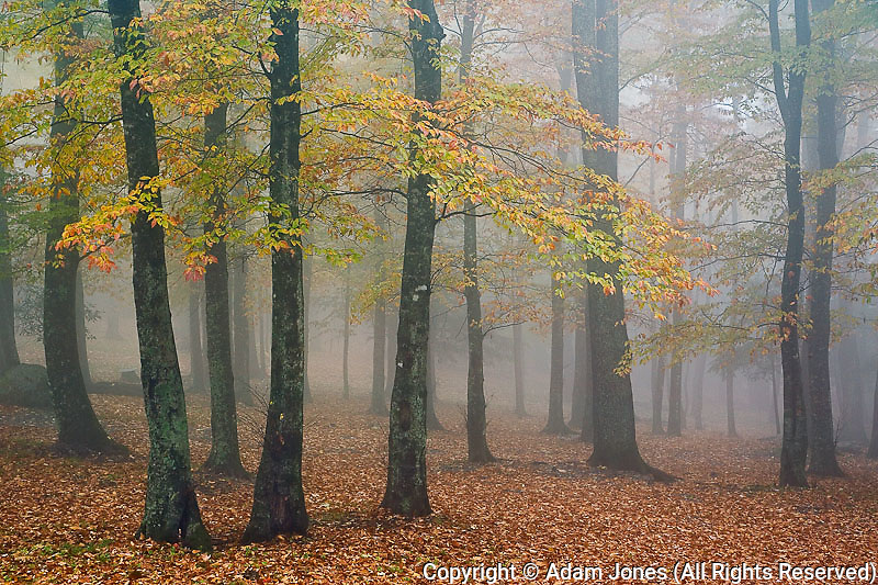 Autumn view of foggy forest, Grandfather Mountain, North Carolina
