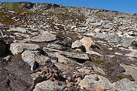 Alpen-Schneehuhn, Alpenschneehuhn, Schneehuhn, Kot, Losung, Gestüber, Lagopus muta, Lagopus mutus, ptarmigan