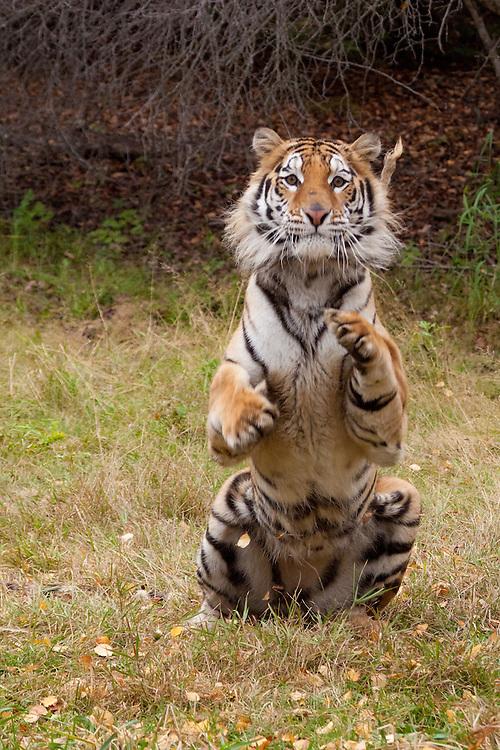 Siberian Tiger sitting up - CA