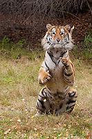 Siberian Tiger sitting up - CA