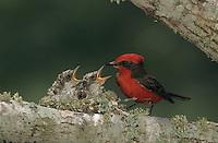 Vermillion Flycatcher, Pyrocephalus rubinus,male feeding young in nest, Lake Corpus Christi, Texas, USA