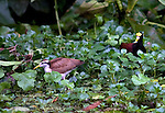 Northern Jacana walking on water plants in Costa Rica