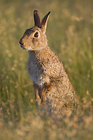 Eastern Cottontail (Sylvilagus floridanus), Sinton, Corpus Christi, Coastal Bend, Texas, USA