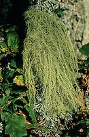 Bartflechte, Bart-Flechte, Usnea spec., Old Man's Beard, Beard Lichen, Treemoss, Methuselah's beard lichen