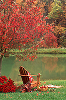 Adirondack chair under fall maple tree with a basket of apples and red mums, Missouri USA