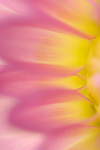 close-up of a dahlia flower
