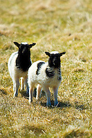 Two white and black Icelandic lambs