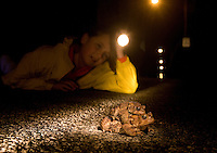 Girl watches American Toads cross road;  Bufo americanus; male and female in amplexus; on road; PA, Philadelphia, Roxborough
