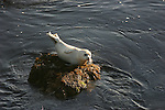 harbor seal on rock in Pacific Grove
