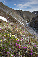 Lapland roesbay, wildflowers in the Arctic National Wildlife Refuge, Brooks Range, Arctic Alaska.