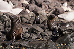 Guadalupe Island, Baja California, Mexico; several Guadalupe fur seals warming themselves on the rocks in early morning sunlight