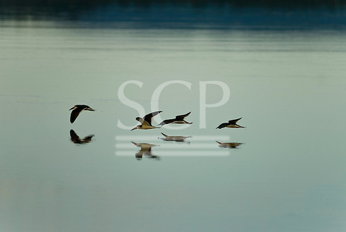 Pará State, Brazil. Xingu River; Black skimmer, Rynchops niger, birds, skimming over the water to catch insects.