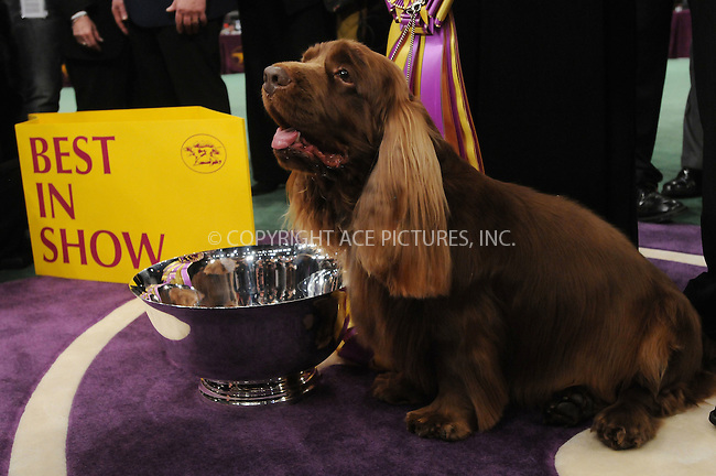 WWW.ACEPIXS.COM . . . . . ....February 10 2009, New York City....Stump the Sussex Spaniel  won 'Best In Show' during the 2009 133rd Westminster Kennel Club dog show at Madison Square Garden on February 10 2009 in New York City. Stump was shown by Scott Sommer.....Please byline: KRISTIN CALLAHAN - ACEPIXS.COM.. . . . . . ..Ace Pictures, Inc:  ..tel: (212) 243 8787 or (646) 769 0430..e-mail: info@acepixs.com..web: http://www.acepixs.com