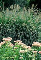 HS63-006c  Ornamental Grass - Autumn Joy Flowers .