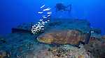 Goliath Grouper and DIver, The Eagle, Islamorada, Florida