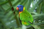 Rainbow Lorikeet, Trichoglossus haematodus moluccanus, Australia, on palm tree, lory.Australia....