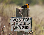 Yellow-headed blackbird territory.