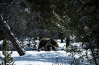 Grizzly in The GYE