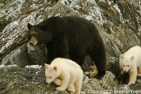 A Black Bear Mom walks along the coastline with her two Spirit Bear Cubs near Port Hartley, British Columbia, Canada, September 2007