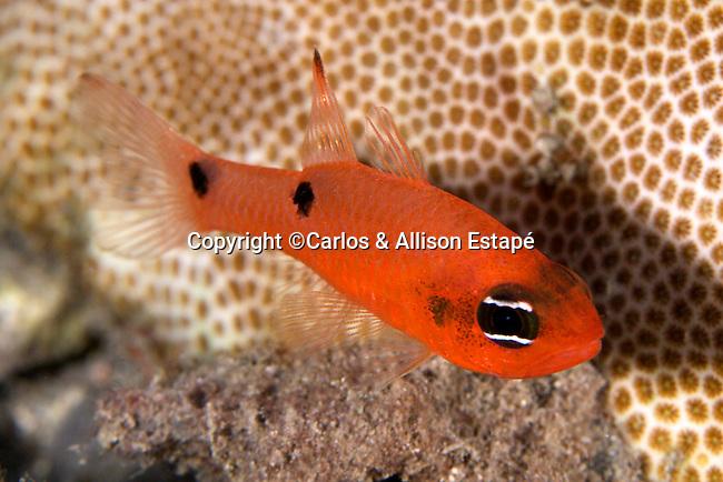 Apogon pseudomaculatus, Twospot cardinalfish, Flower Garden Banks