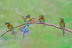 Bee-eaters line up on a branch with beaks filled with insects by Arindam Saha