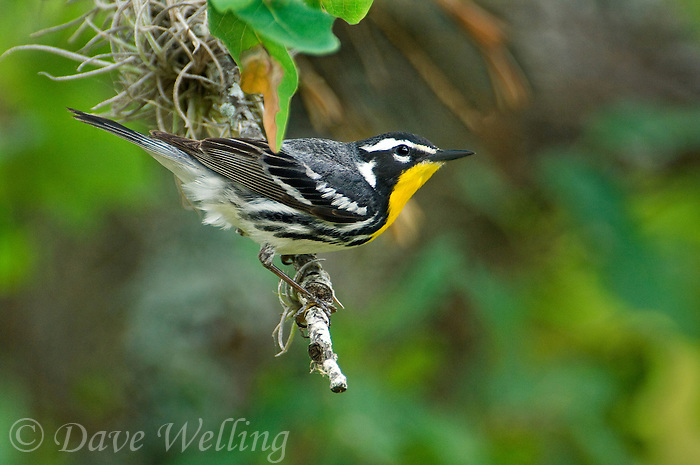 592480005 a wild male yellow-throated warbler setophaga dominica albilora - was dendroica albilora - perches in a small tree in the hill country of central texas united states