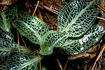 Downy Rattlesnake-Plantain orchid, Goodyeara pubescens