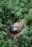 Turteltaube, brütend auf Nest, Turtel-Taube, Taube, Streptopelia turtur, turtle dove
