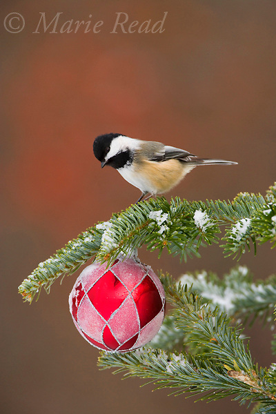 Black-capped Chickadee with Christmas decoration (Poecile atricapillus), New York, USA