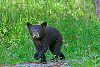 "Wild Black Bear (Ursus americanus) cub among wildflowers.  Western U.S., spring. (This is what is known as a ""coy""--cub of the year.)"