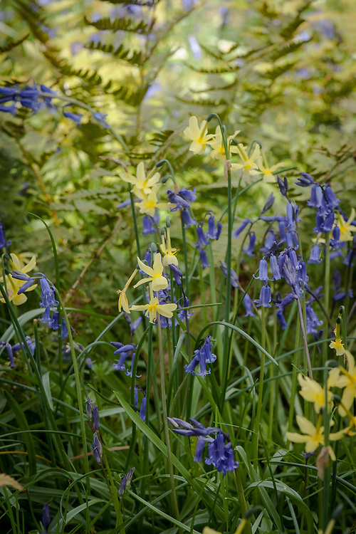 Narcissus 'Hawera' amidst bluebells, late April.