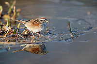 Swamp Sparrow (Melospiza georgiana georgiana), foraging at the edge of Turtle Pond in New York City's Central Park.