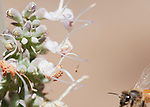 Honeybee, Apis mellifera, approaching flowers of whte sage, Salvia apiana. Mendocino County, California