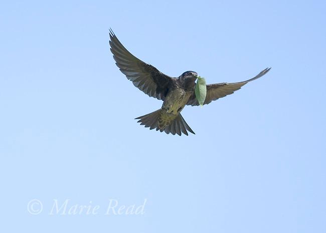 Purple Martin (Progne subis), female carrying leaf to use as nest lining, Montezuma National Wildlife refuge, New York, USA