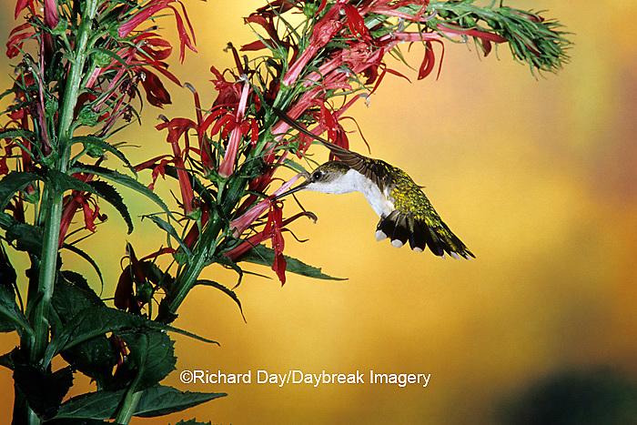 01162-06508 Ruby-throated Hummingbird (Archilochus colubris) female on Cardinal Flower (Lobelia cardinalis) Shelby Co. IL