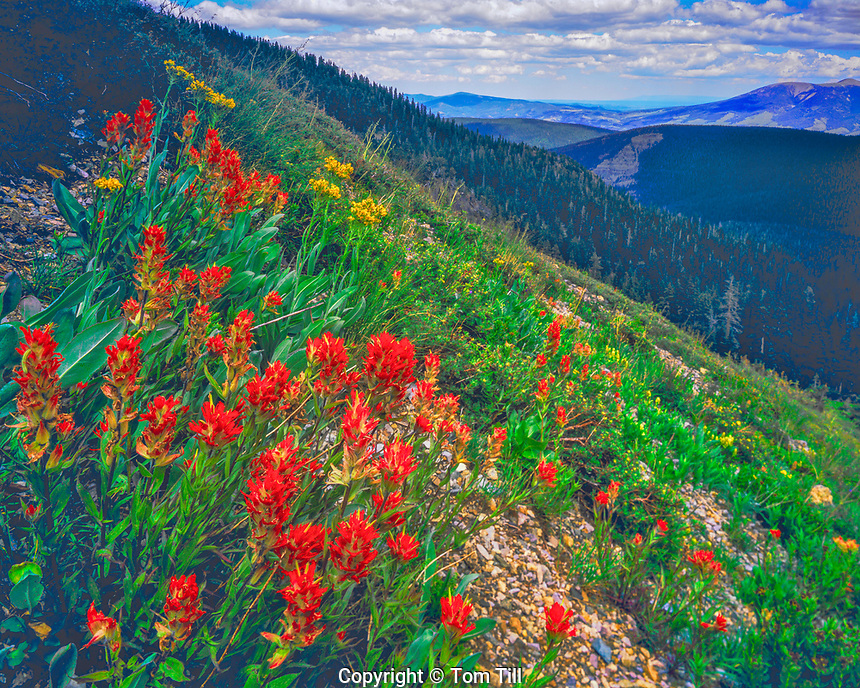 Indian Paintbrush Blooms in Summer, Wheeler Peak Wilderness, Sangre De Cristo Mountains, Carson National Forest, New Mexico