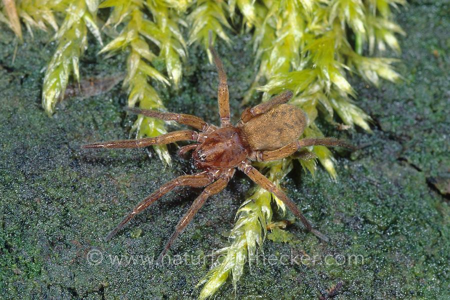 Braune Feenlämpchen-Spinne, Feenlämpchenspinne, Agroeca brunnea, Felampespinder, Felampe-spinder