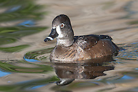 Ring-necked Duck (Aythya collaris) - Female