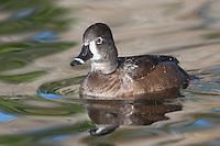 Ring-necked Duck (Aythya collaris) - Female