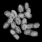 X-ray image of peanuts in shells (white on black) by Jim Wehtje, specialist in x-ray art and design images.