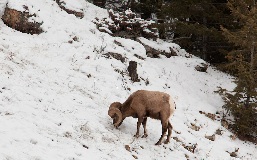 A single bighorn sheep feeds on grasses underneath the snow in the winter in Banff National Park, Alberta, Canada.