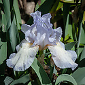 Iris 'Tirra Lirra', mid May. A pale blue dwarf bearded iris.