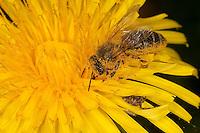 Honigbiene, Honig-Biene, Biene, Apis mellifera, Apis mellifica, Blütenbesuch auf Löwenzahn, Nektarsuche, Blütenbestäubung, honey bee, hive bee