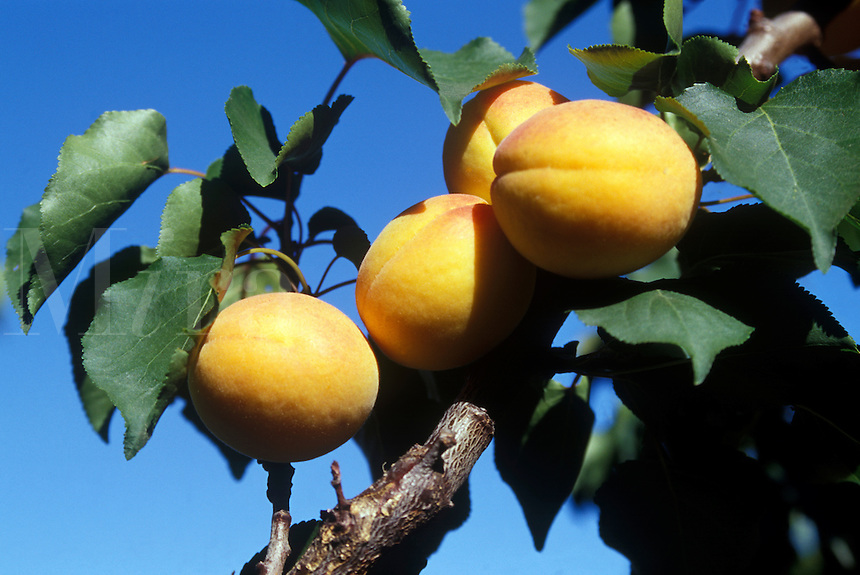 APRICOTS (Prunus Armeniaca Var. Mandshurica) on the tree - CALIFORNIA